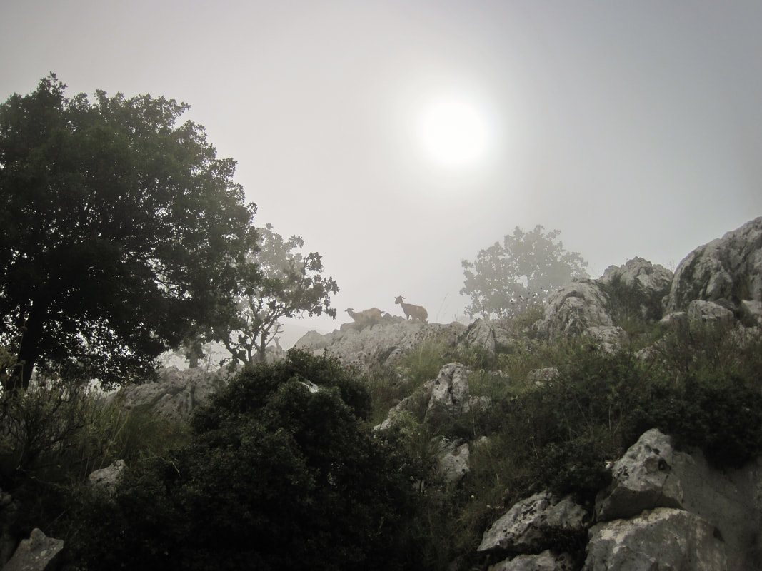 Greek goats on the mountain side