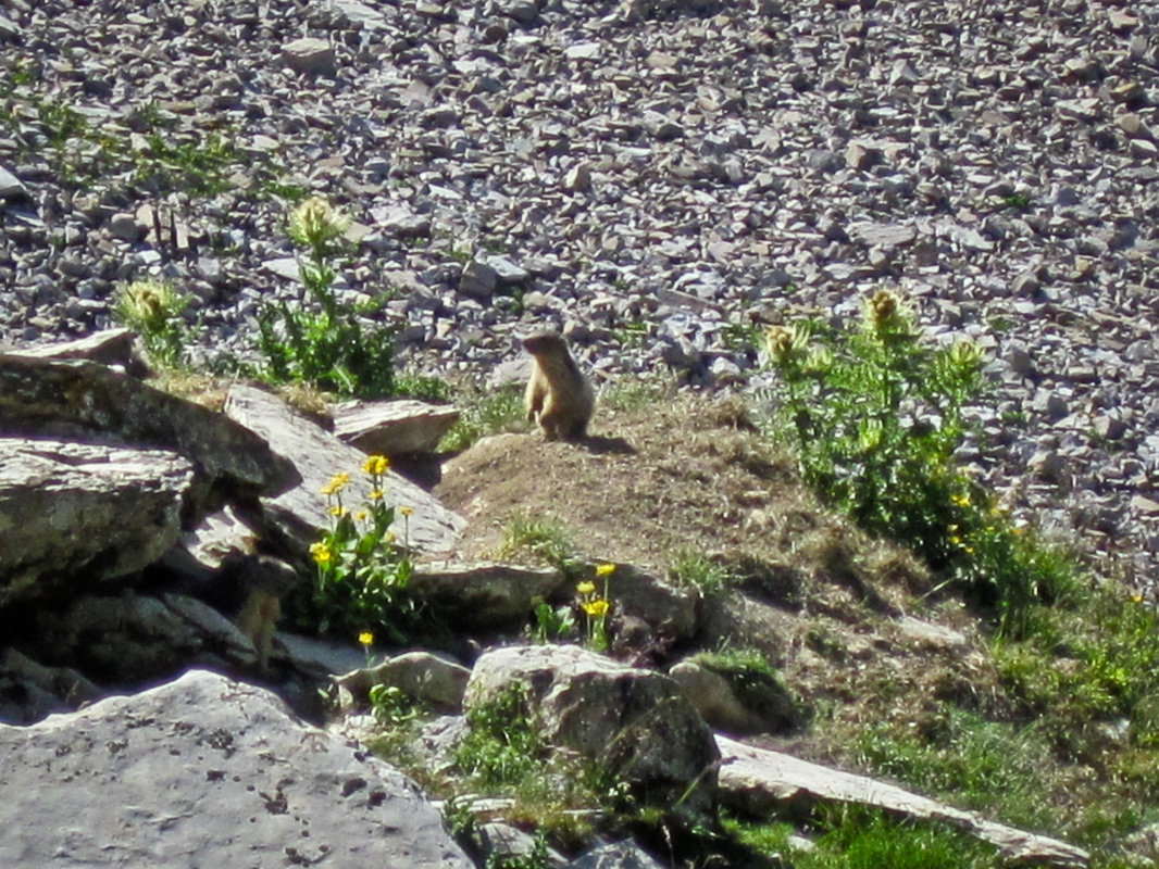 a marmot rising onto into hind legs on the edge of a rocky scree
