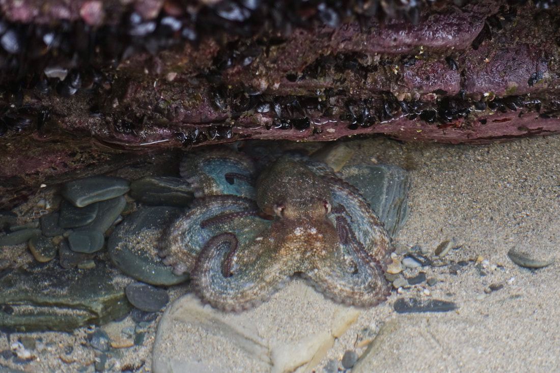 An octopus in a rockpool on the Playa de los Catedrales