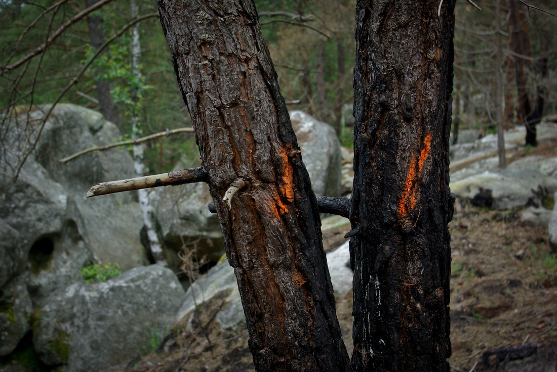 Charred trees as a result of forest fires in fontainebleau