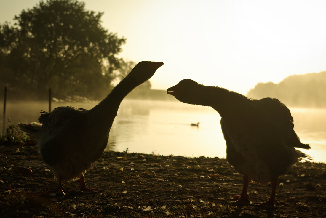 Geese at the lakeside in the morning sun